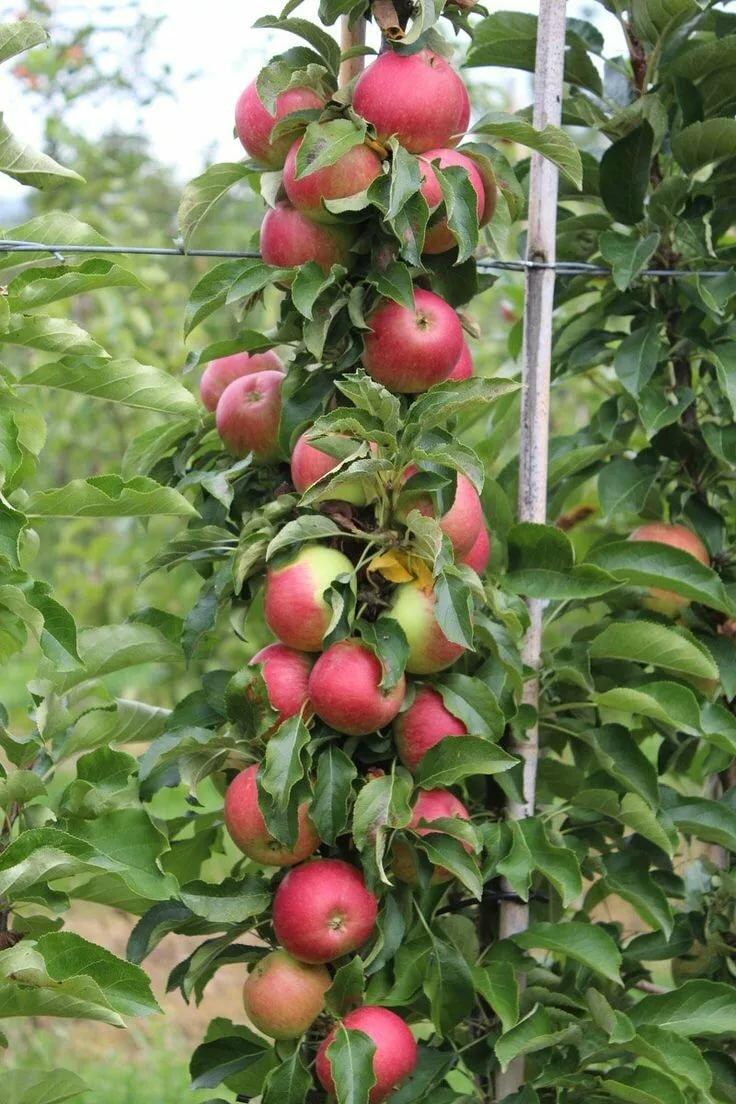 Брянское алое яблоня описание фото этом