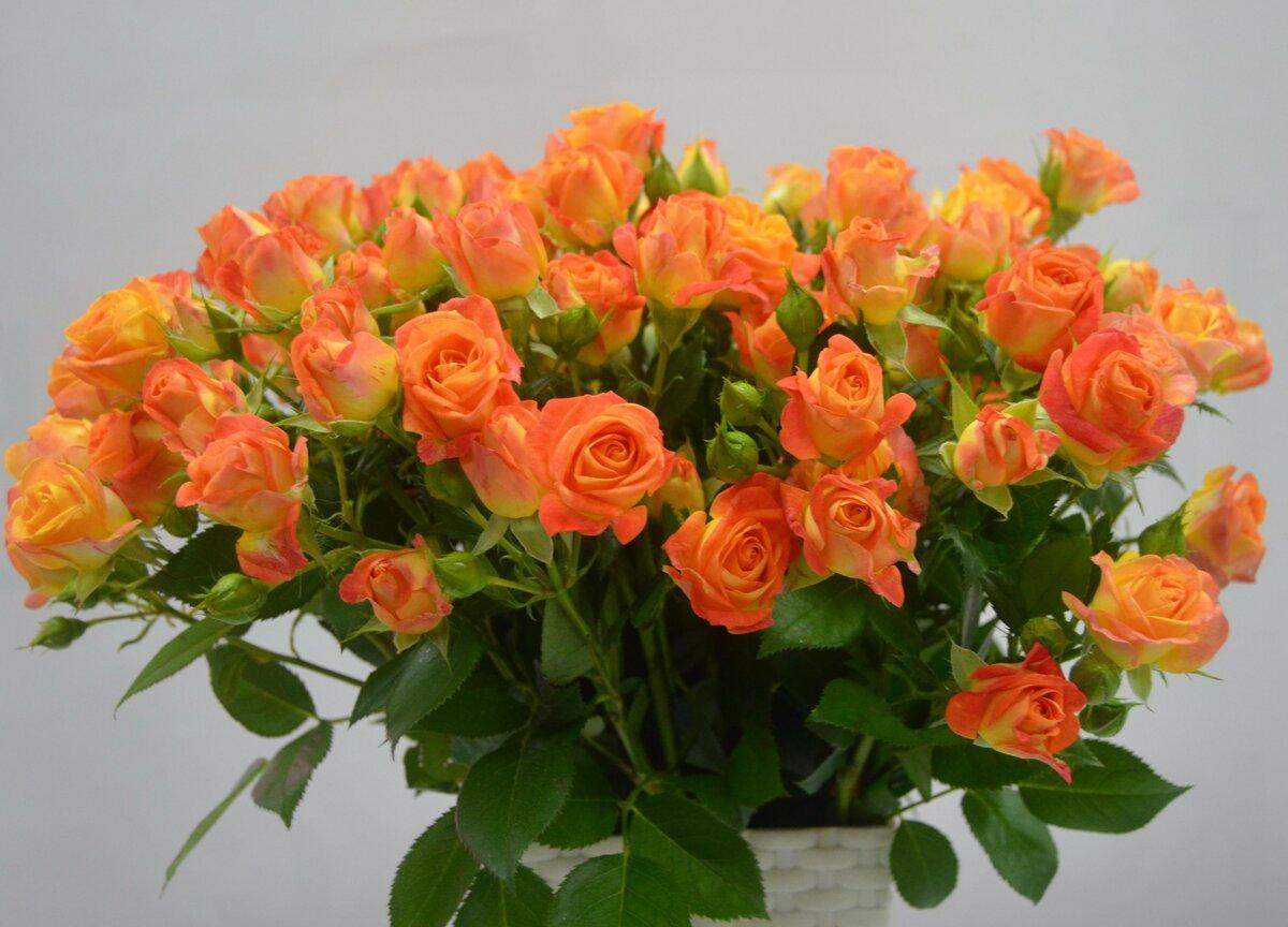 недавно как выглядят кустовые розы фото втором просто