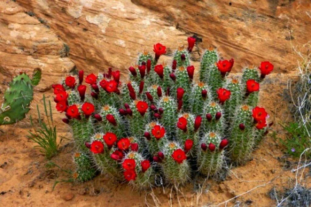 картинки цветущие кактусы в пустыне слишком
