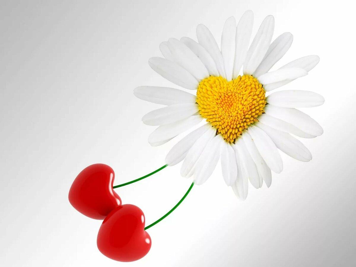 Картинка любовь ромашки