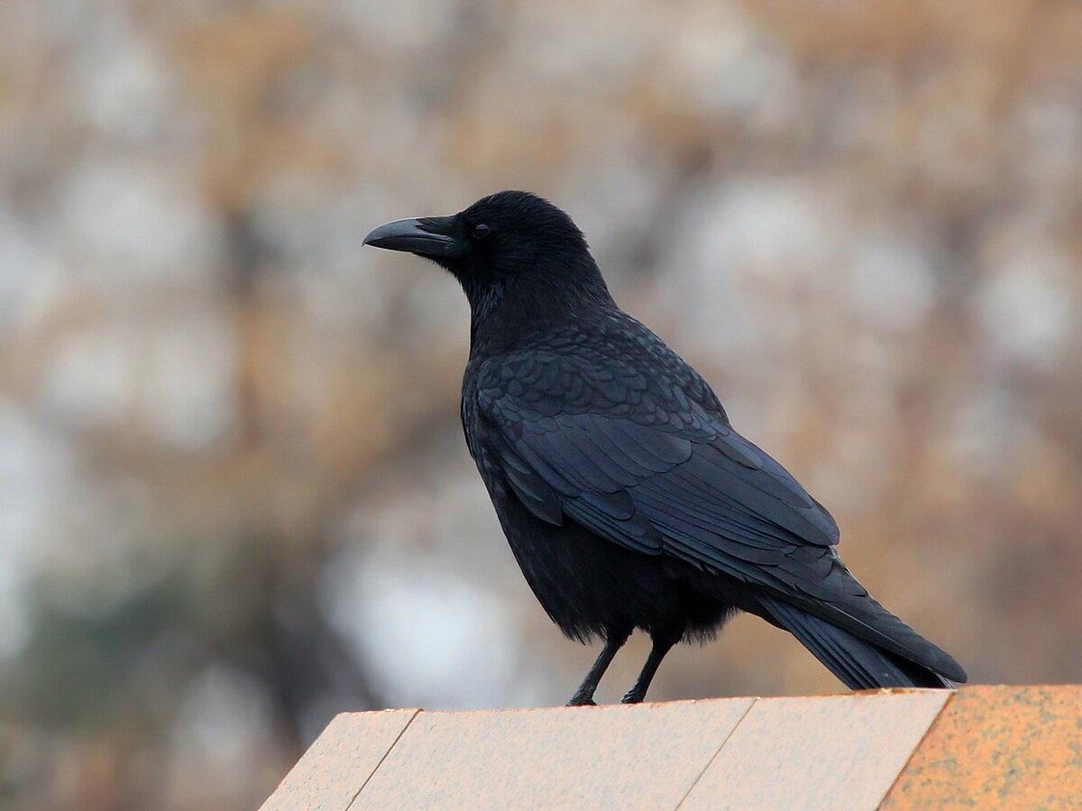 факторы картинки ворона темная выбрать другой материал