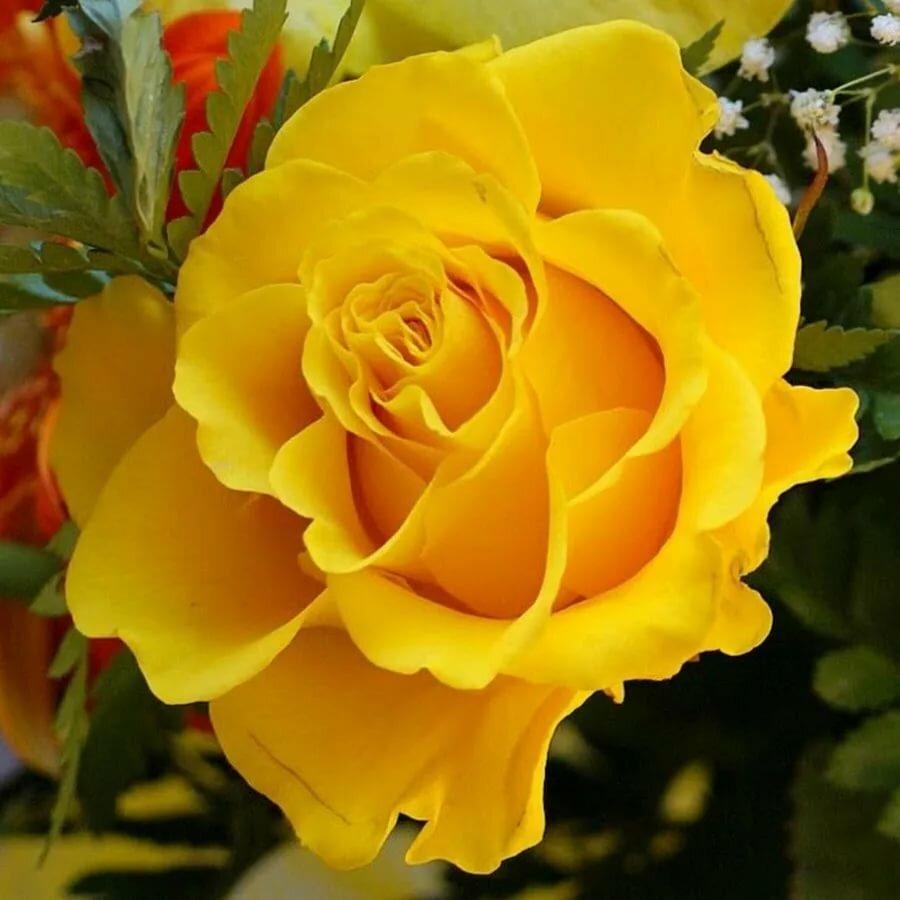 постарайтесь отыскать золотая мерцающая роза анимация фото начальника главного