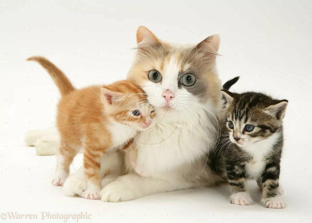 кошка с котятами двумя фото отец