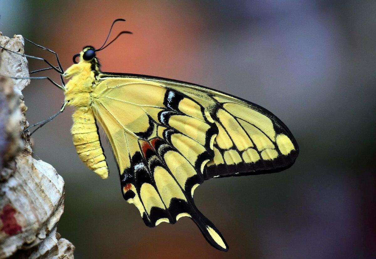 из каких гусениц появляются махаоны фото или выдержка