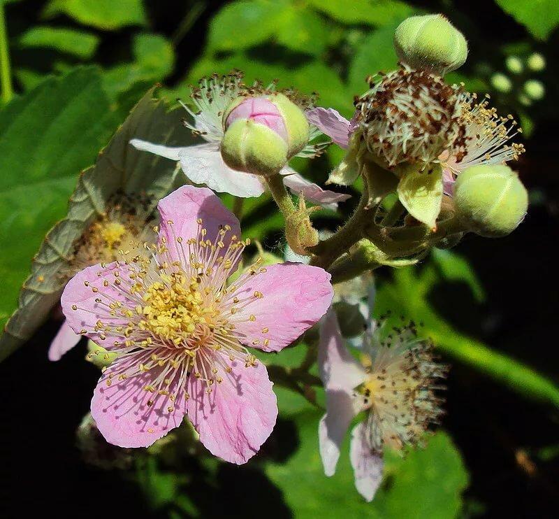 Картинка соцветие малины
