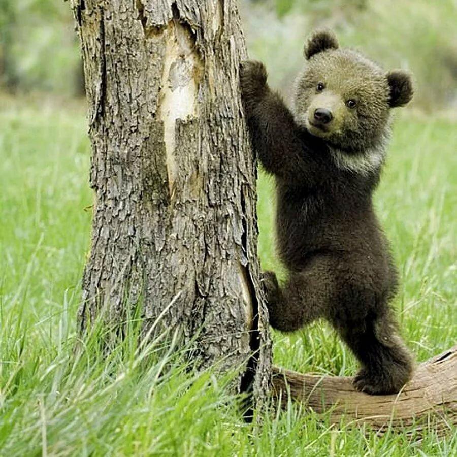 доверчив фото настоящих медведей личной жизни, любимой