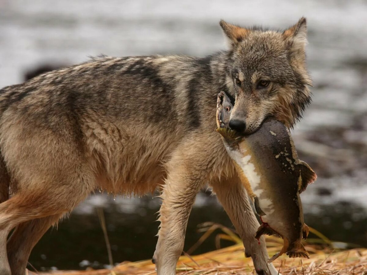 Картинки как едят волки
