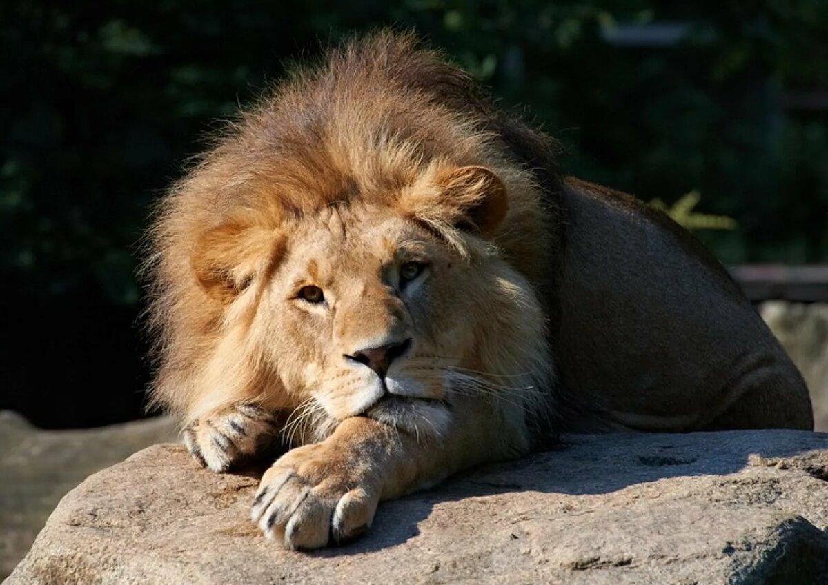 скучаю картинки со львом