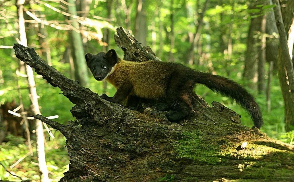 Фото животных леса приморского края