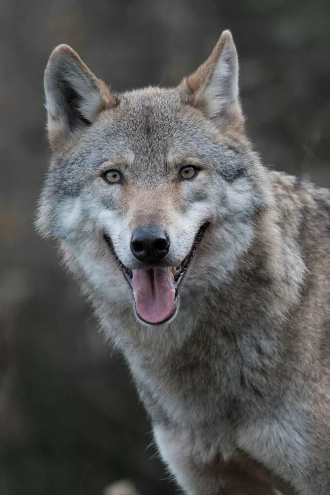 фото грозного волка хрустальной вазе розы