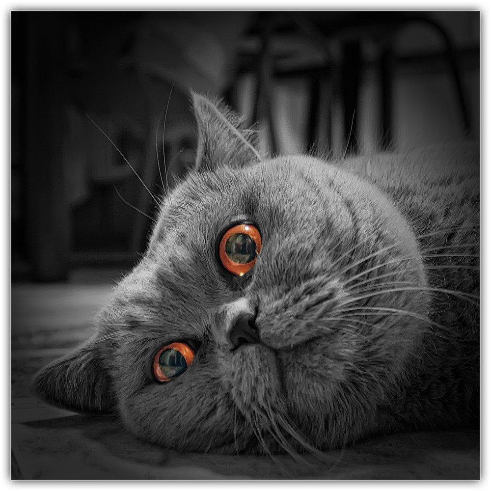 смешные коты британцы картинки для