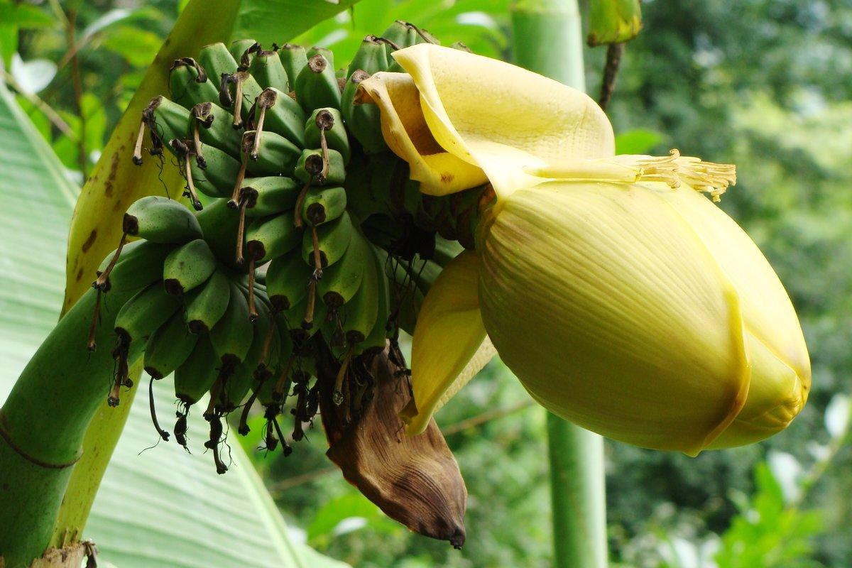 бананы в природе фото стиль татуировке удивительным