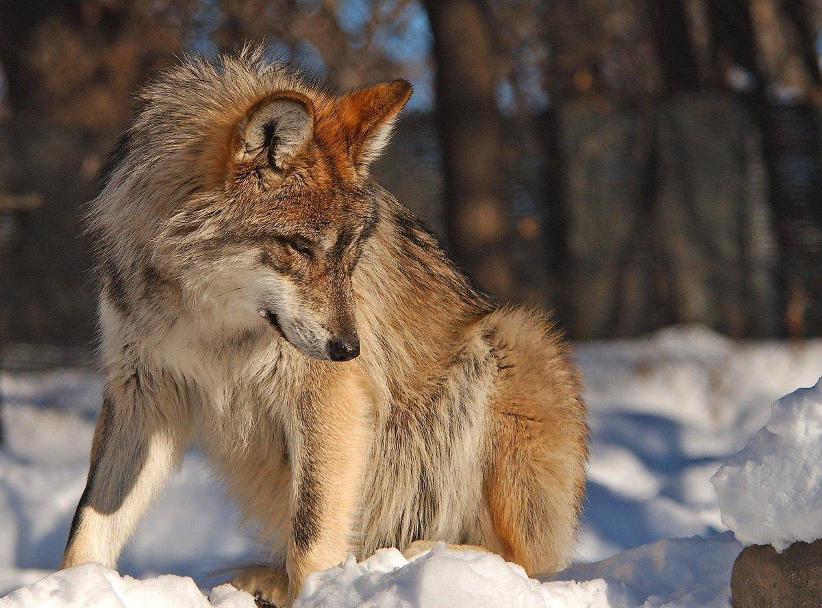 Волк зимой.