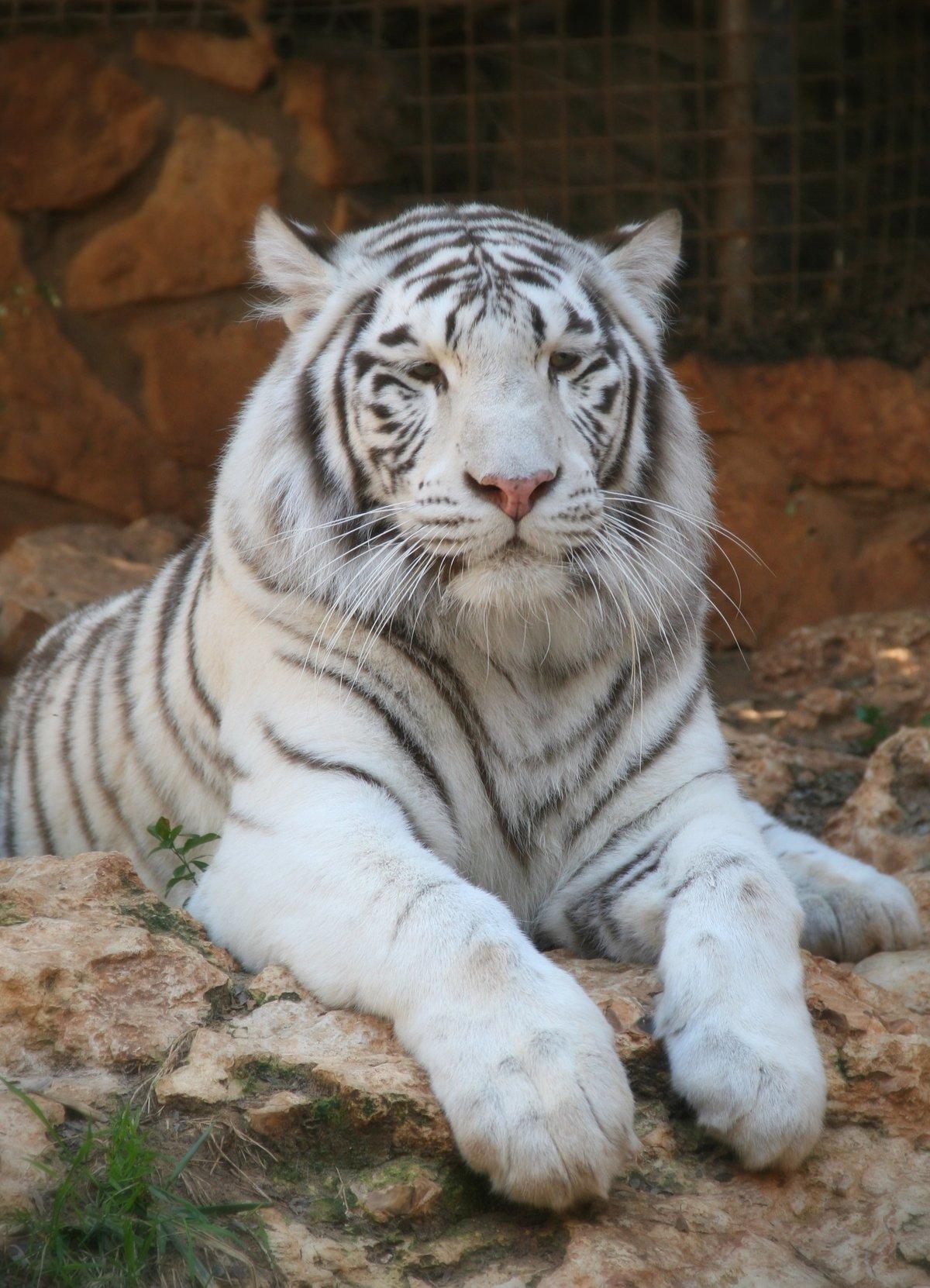Год тигрицы картинки одно