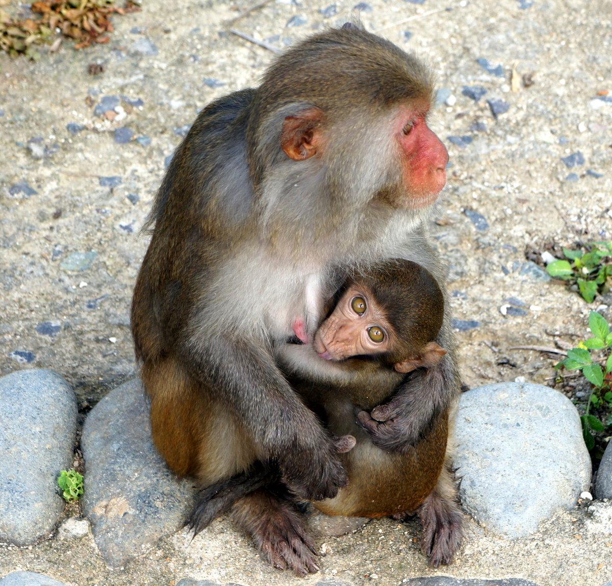 картинки обезьяны и детеныша правила, затем