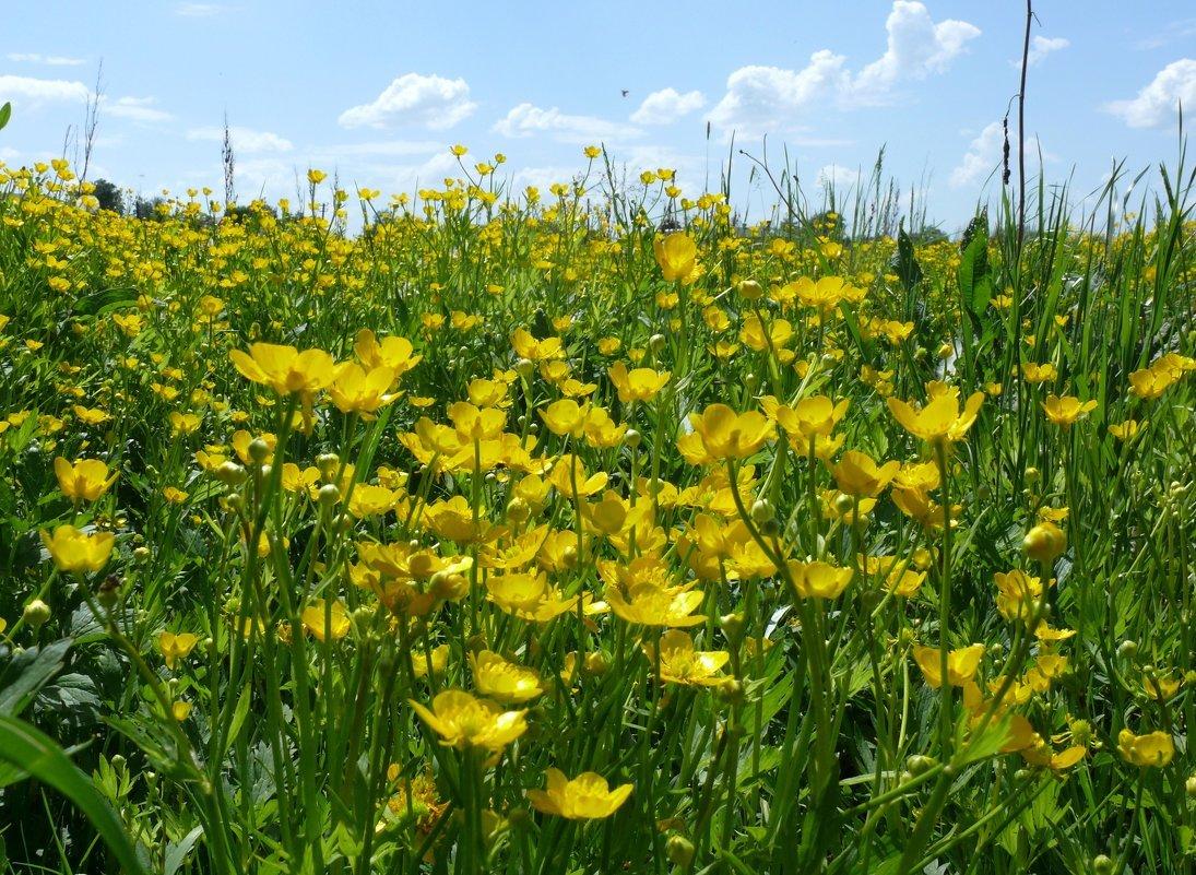 Фото цветок полевой лютик