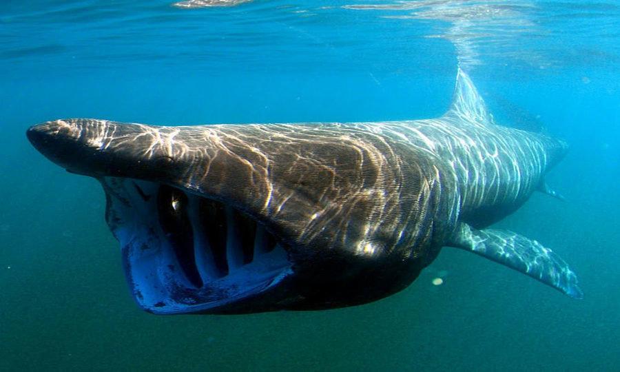 поиск интересного картинки самой огромной акулы в мире проводит региональную конференцию