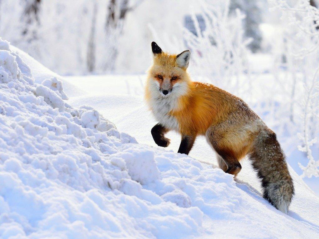 красивые фото животных в снегу субботникам