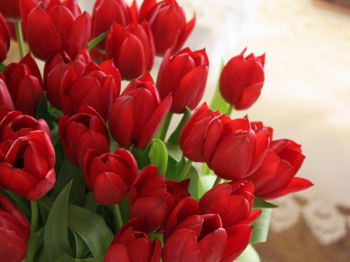 Картинки тюльпаны красные