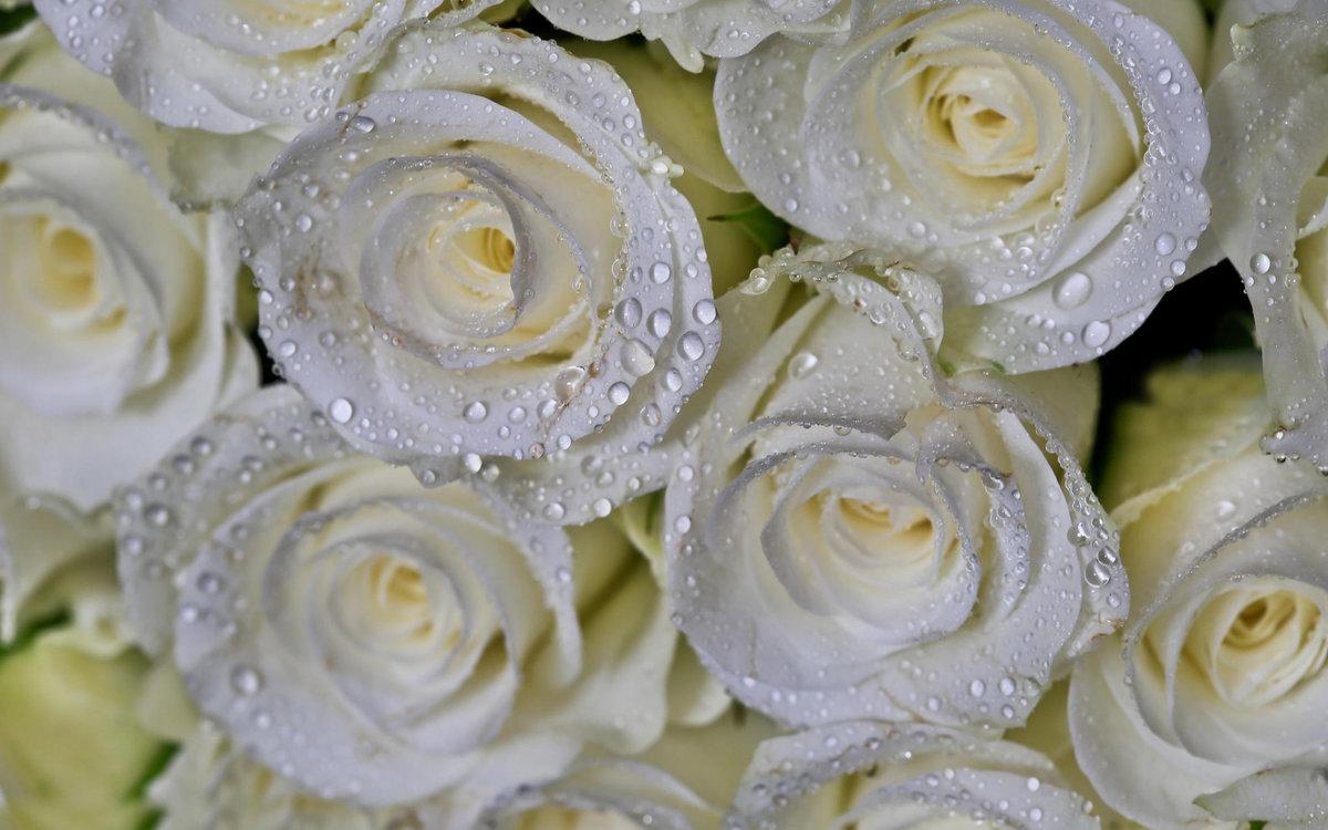 Белые розы картинки, днем рождения
