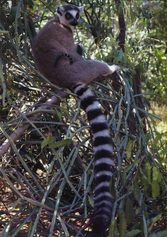 Длинный полосатый хвост—наиболее характерная черта кошачьего лемура, или лемура катта. Это дневное животное. Его хвост служит показателем намерений и настроений для других членов группы.