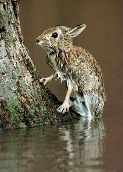 Картинка мокрый заяц