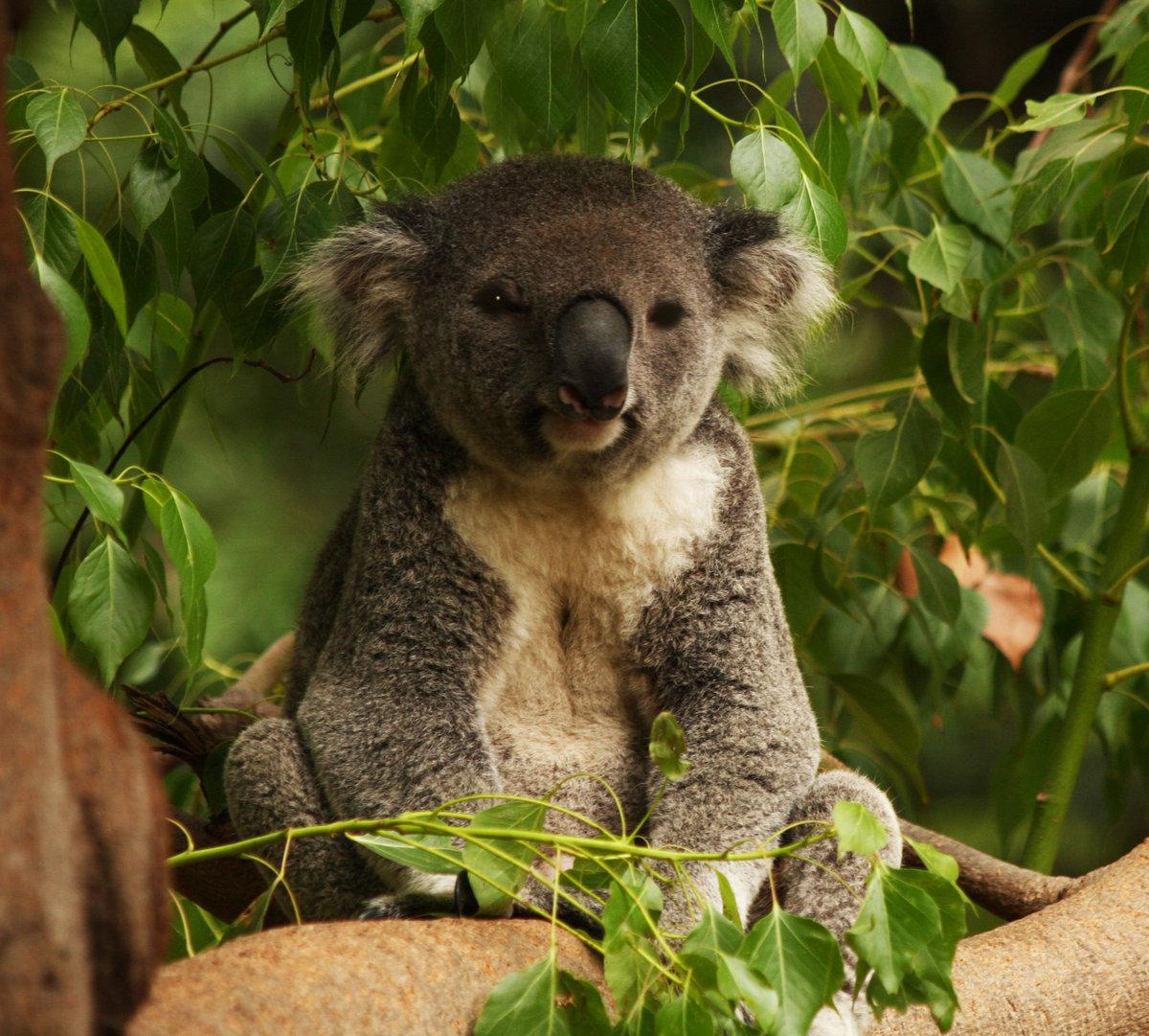 Смешные, смешная картинка коала