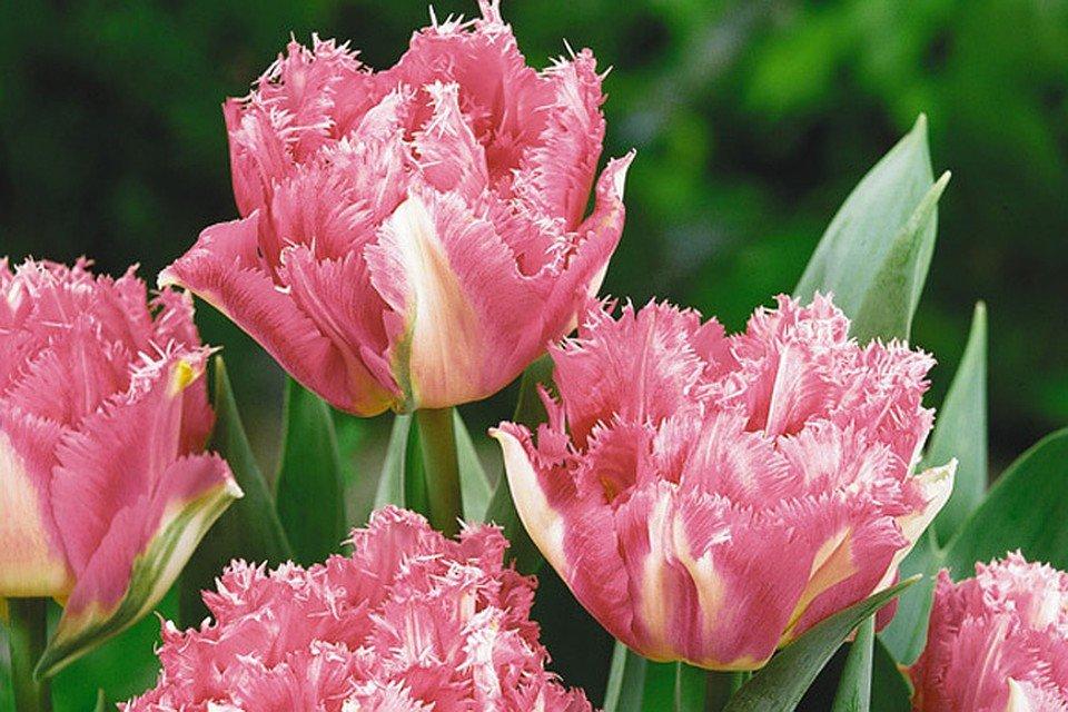 материала позволяет тюльпаны бахромчатые сорта и фото примерно