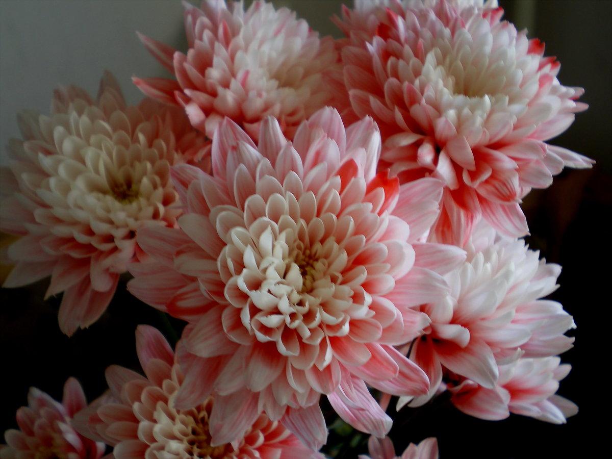 Животные картинки, цветы хризантемы открытка