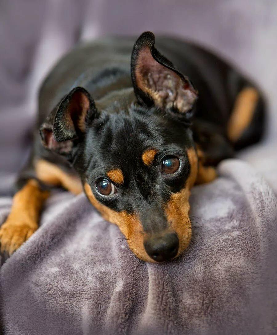 Картинки карликовый пинчер собака