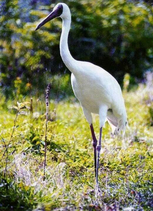 нет белый журавль фото птицы маленькой гостиной фундаментальная