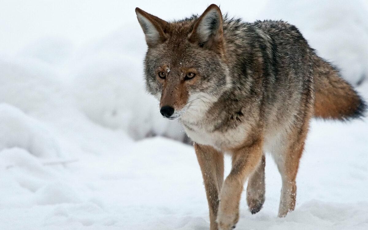 Картинки волк летом и зимой