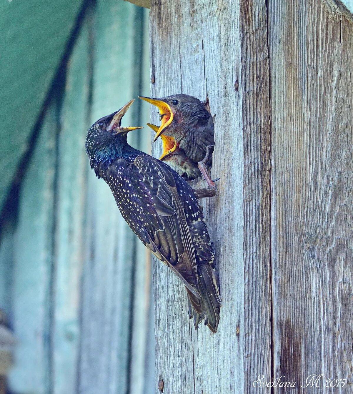 картинки скворец и птенцы