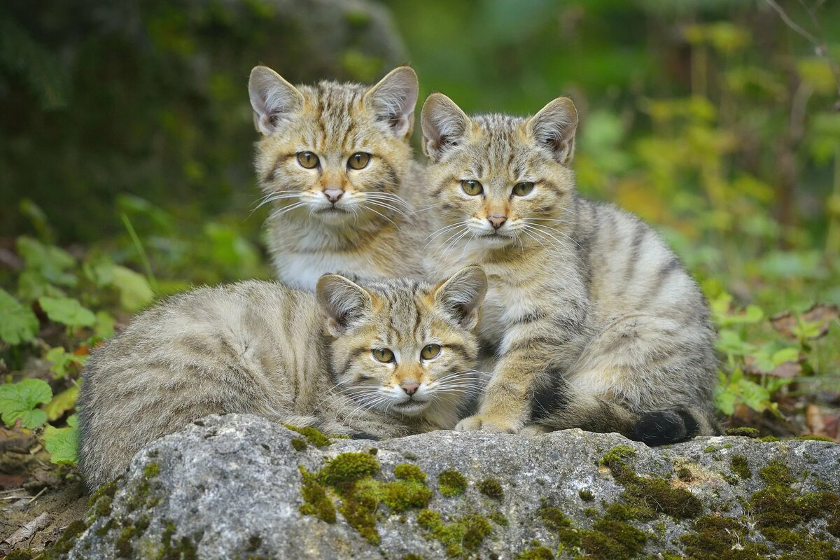 Картинки дикие котята