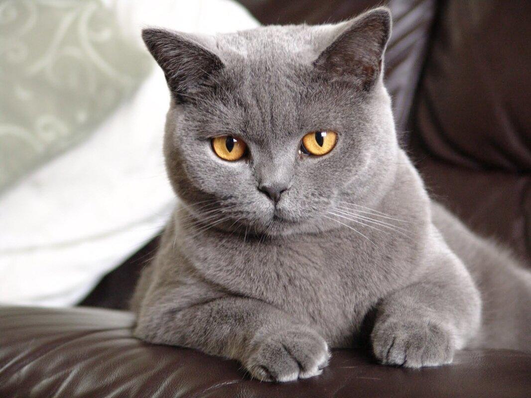 Породы кошек британская картинка