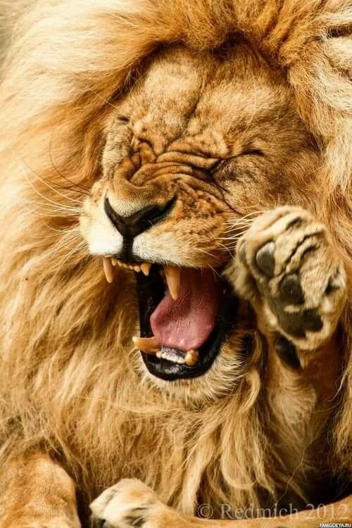 Смешные картинки львы на аватарку, смеха букет сирени