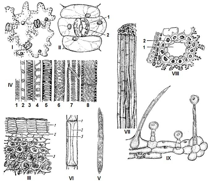 Картинка ткани растений