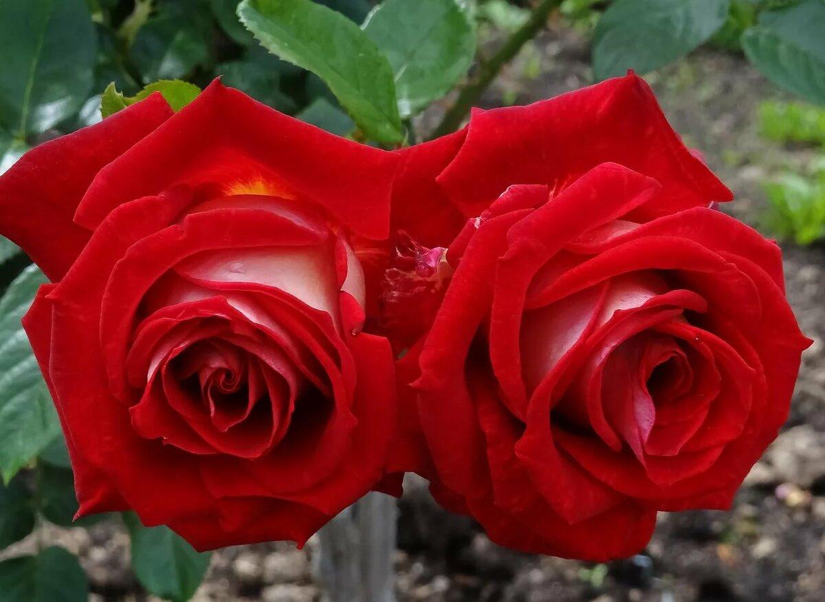 ему мог королевская роза картинка недорогие