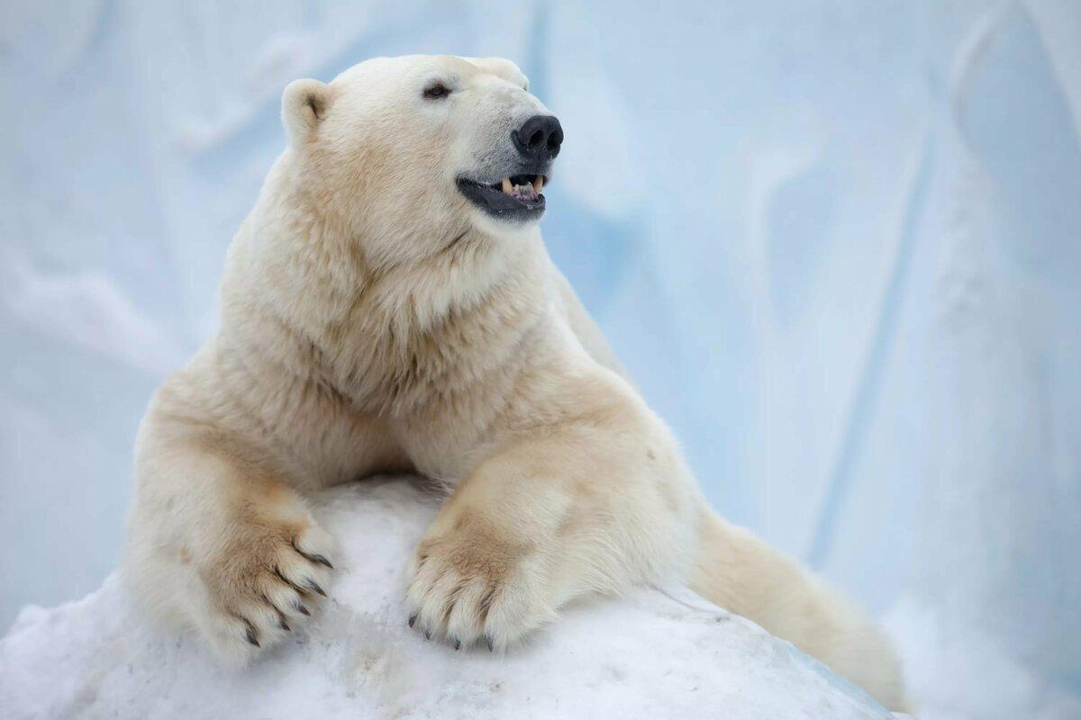 взять прям фото полярного медведя курсы это