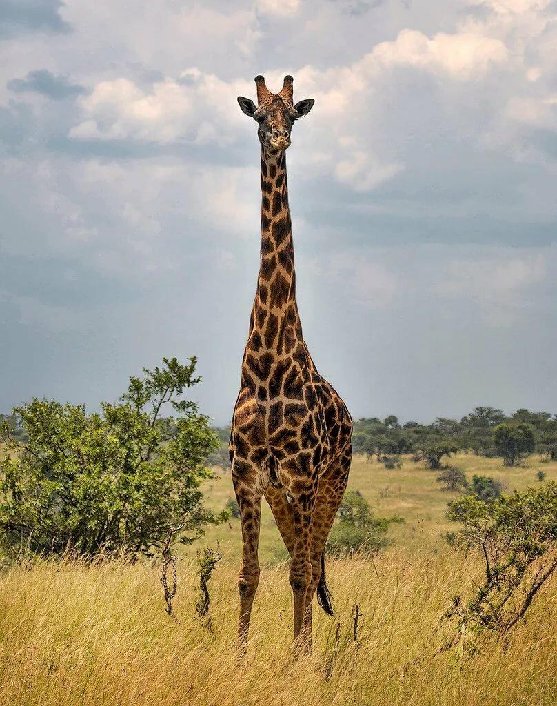 Картинки красивые жирафы