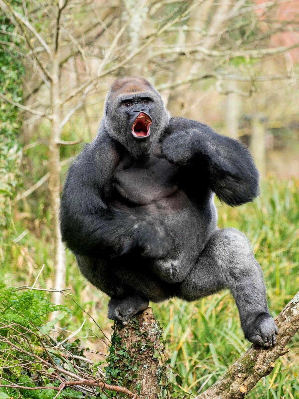 именно, картинки гориллы приколы можно все что
