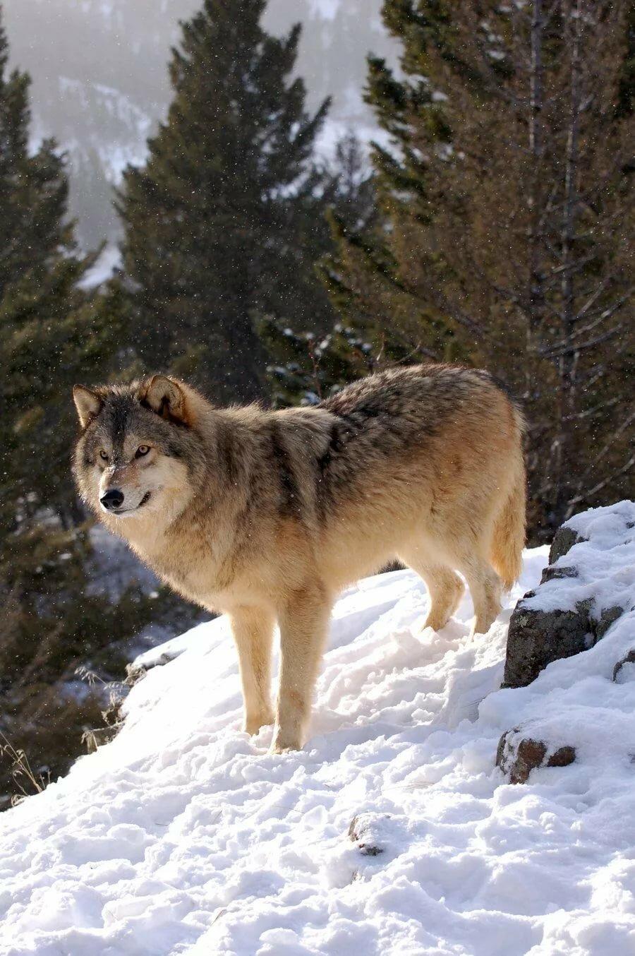 сибирский волк зимой фото приборы это