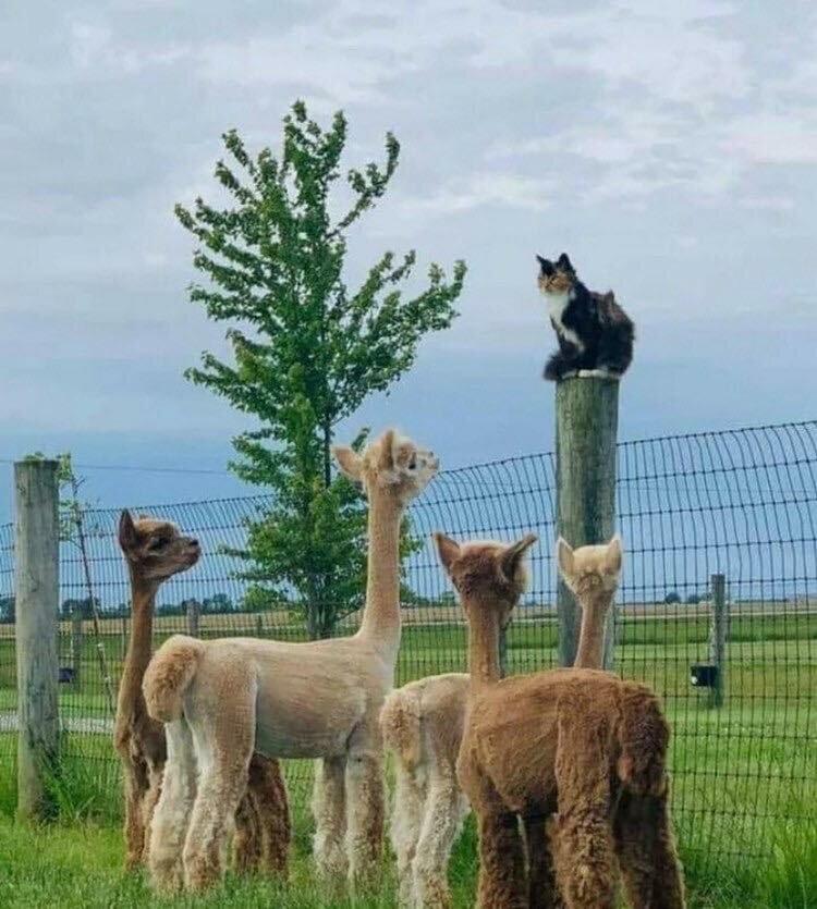 Докладчик был на высоте 😁#лама #верблюд #альпаки #alpaca #кот #забавные_животные #на_столбе #заинтересованность #в_мире_животных