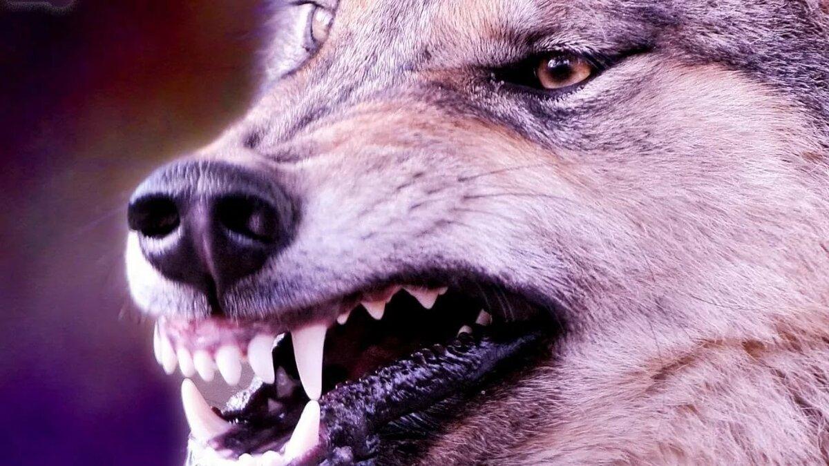 Картинки на рабочий стол оскал волка