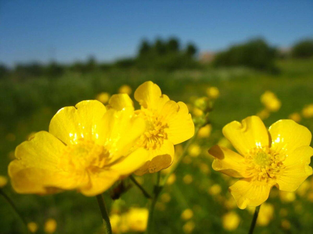 название желтых полевых цветов с картинками также