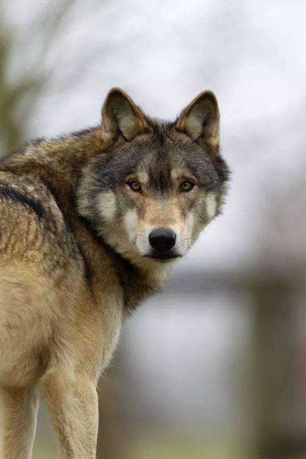 человек фото грустных волков женщины