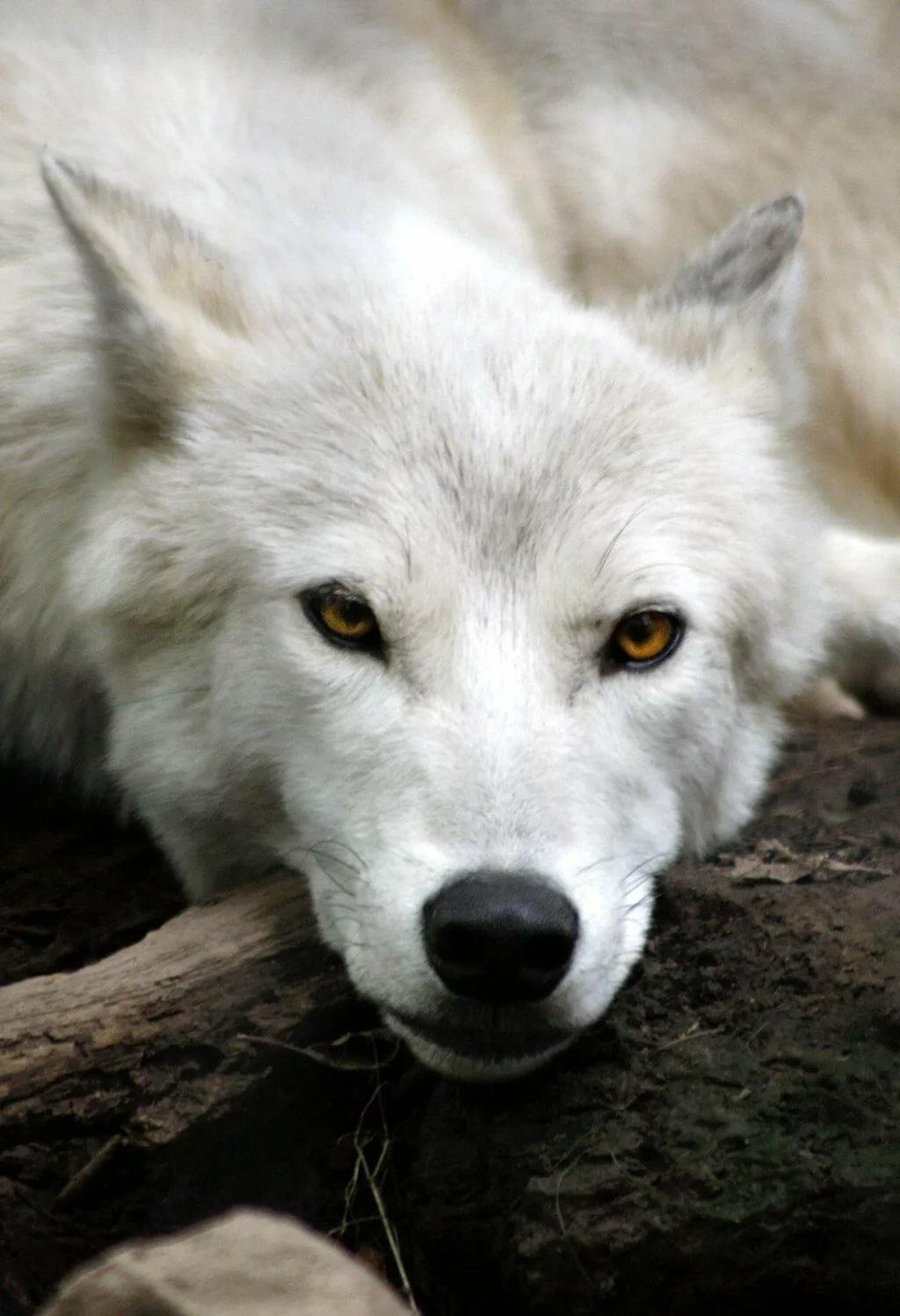 квартиры белый волк фото рычит только