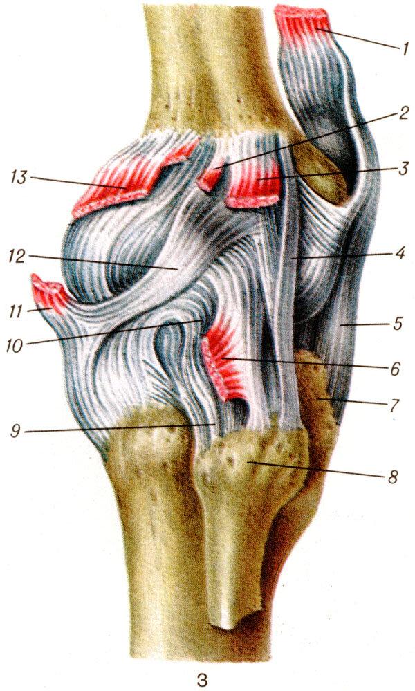 Строение колена человека фото