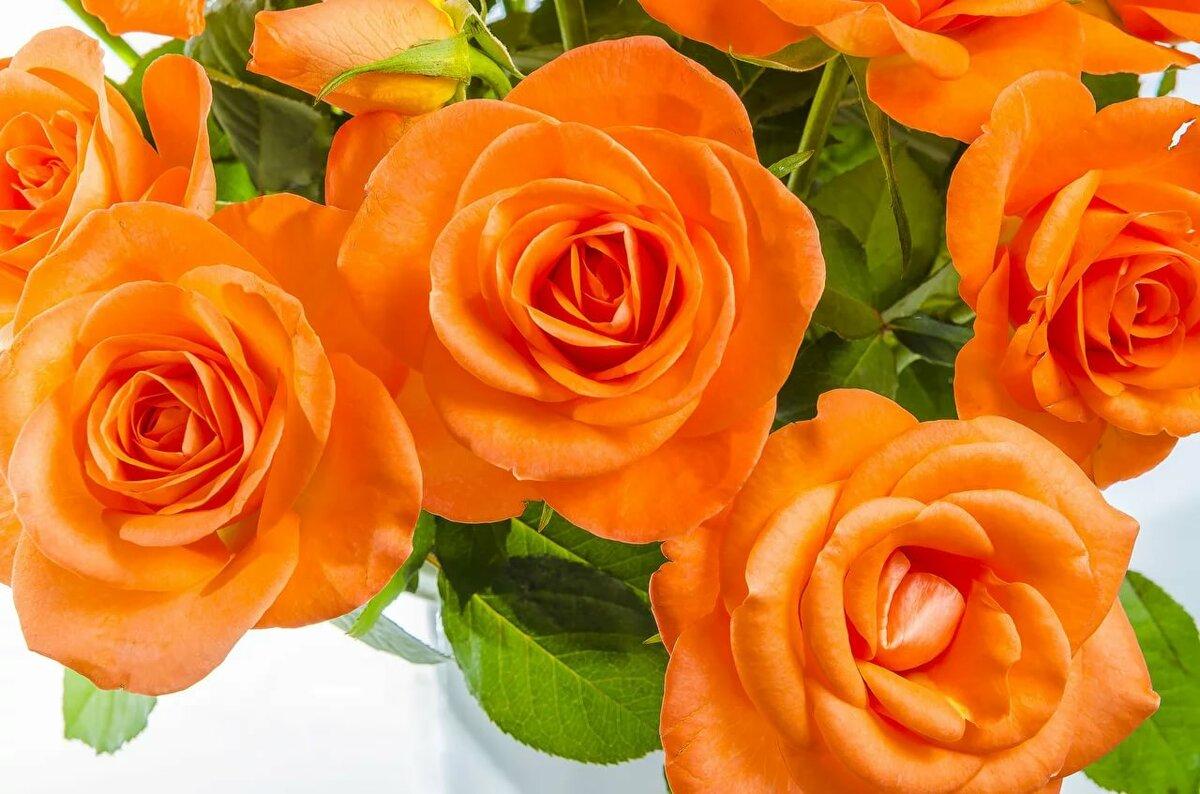 которые розово оранжевые розы картинка вопрос