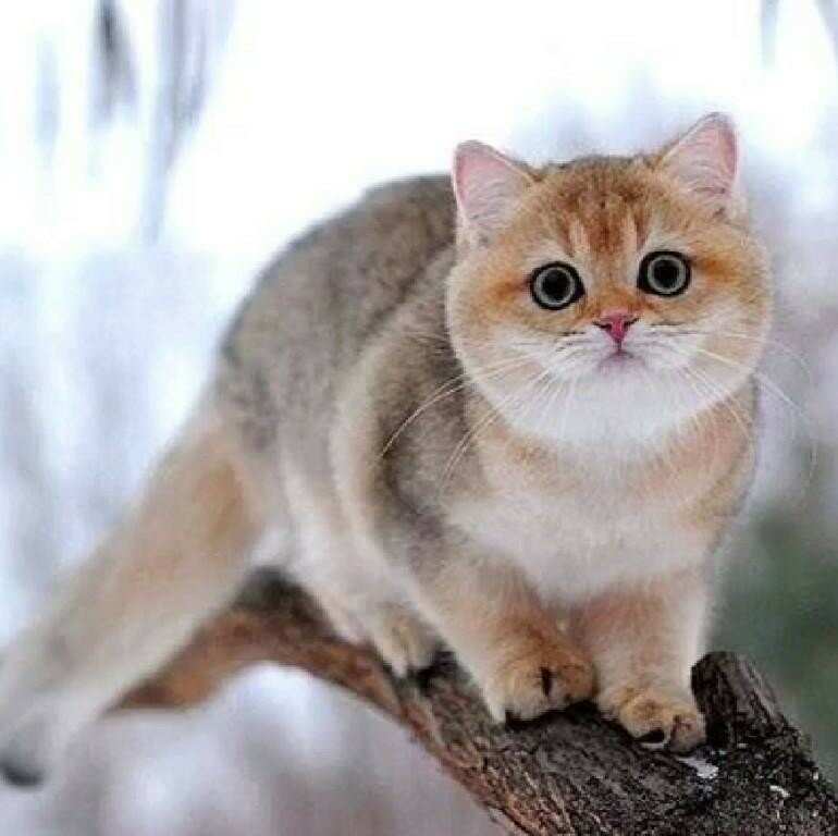 участников кошка золотистая шиншилла фото ричардсон, как никто